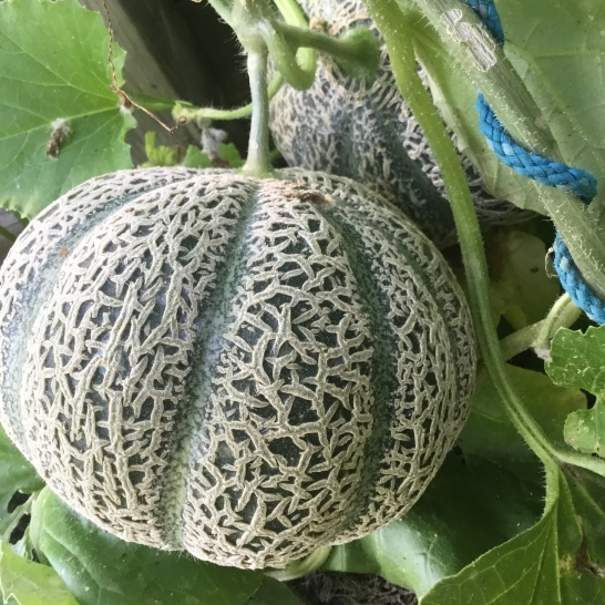 We haven't had a lot of fruit success this year, however this is the first year I have had success with melons. We have eaten one of these Musk Melons and they are sweet and yummy!