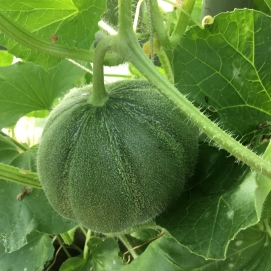 A Musk Melon on its way to becoming ripe! Whoot! So excited about these, we will see how many we get before the frost as there are quite a few coming along on the vines, soooooo exciting!